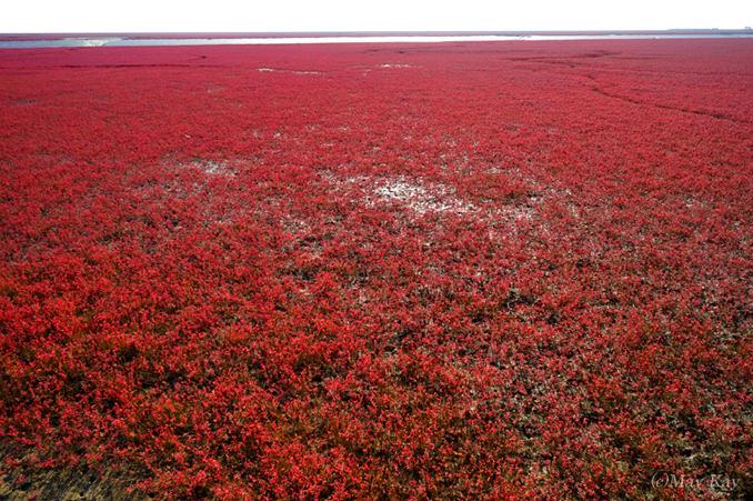 真紅の絨毯が広がる、一年に一度しか見られない圧巻の絶景「紅海灘風景区」