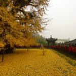ここはまさに極楽浄土!1000年銀杏樹が織りなす金色の世界