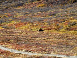 USA アラスカ デナリ国立公園 Alaska Denali National Park