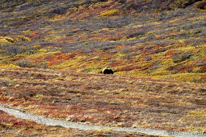 期間限定!一面赤に染まった幻のアラスカ・デナリ国立公園<p>
