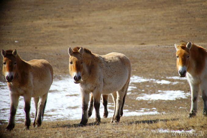 世界最後の野生馬タヒが生きる、大自然のホスタイ国立公園へ<p>
