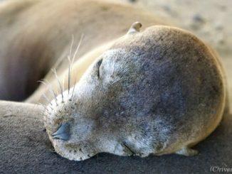 ガラパゴス諸島 ガラパゴスアシカ Galapagos Island Sea Lions
