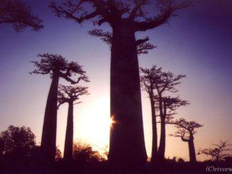 マダガスカル バオバブ街道 Madagascar Baobabu Avenue