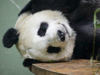 中国 四川省 パンダ China Sichuan Panda