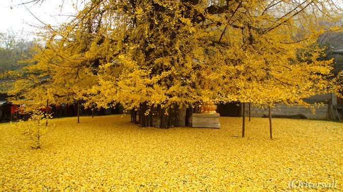 ここは極楽浄土?西安古刹・古観音禅寺の千年イチョウが放つ金色の絨毯