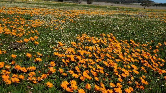南アフリカ ナマクワランド South Africa Namaqualand Wild Flowers