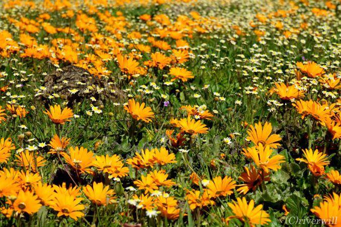 年に一度!砂漠に現れる奇跡の花園「ナマクワランド」 第1日・2日目編