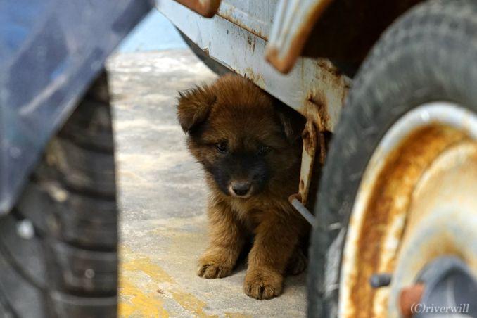 上海 枸杞島 パピー Shanghai Guoqi Puppy