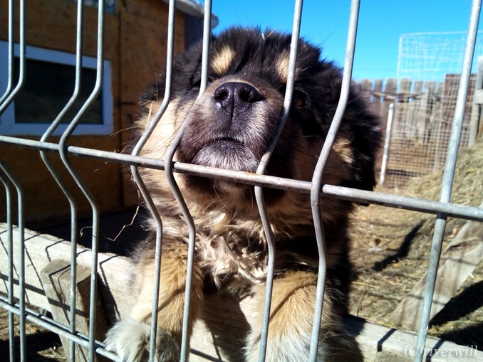モンゴル ウランバートル モンゴル犬 Mongolia Ulaanbaator