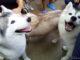 シベリアンハスキー ドッグカフェ バンコク Siberian Husky Dog Cafe TrueLove@Neverland