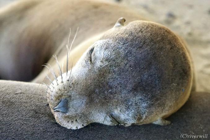 ガラパゴス イザベラ島 アザラシの赤ちゃん