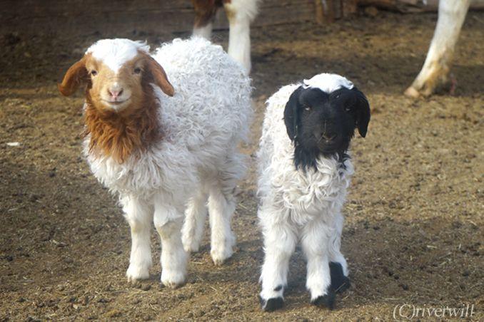 モンゴル ヤギの赤ちゃん Mongolia Goats