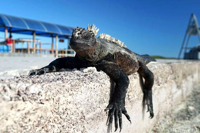 ガラパゴス イグアナ Galapagos Iguana