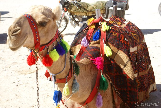 シリア パルミラ ラクダ Syria Palmyra Camel