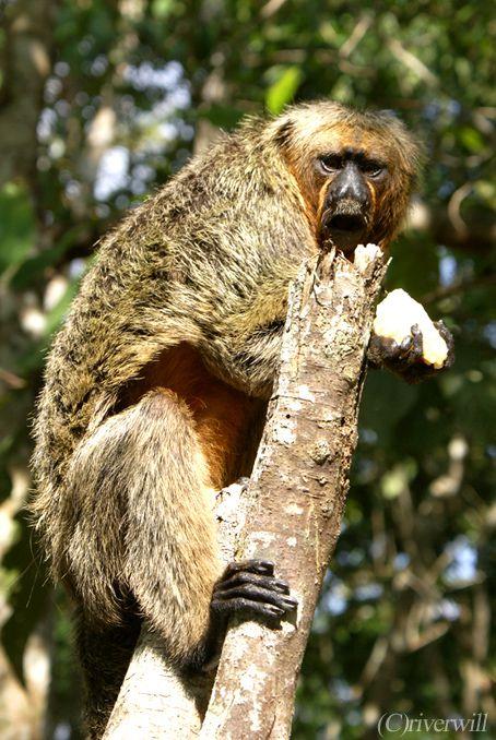 ブラジル マナウス Brazil Manaus Monkey