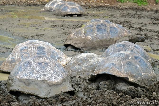 エクアドル ガラパゴス ゾウガメ Galapagos Turtles