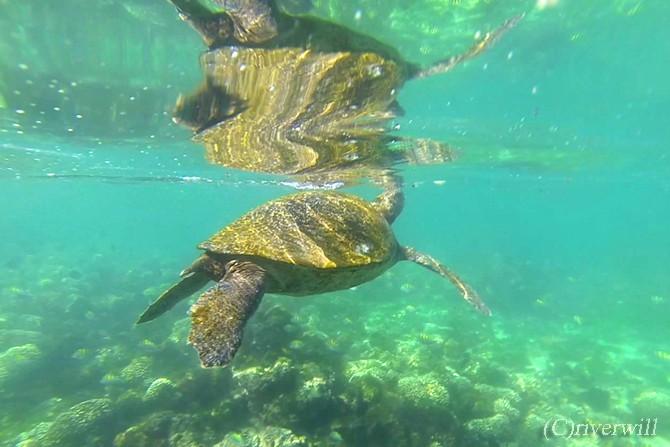 エクアドル ガラパゴス ウミガメ Galapagos Turtles