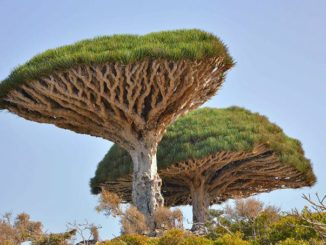 ソコトラ島 流血樹 Socotra Yemen Dragon's Blood Tree