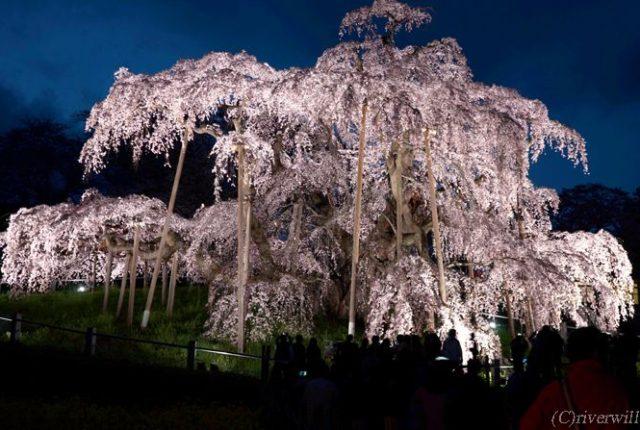 福島 三春の滝桜 Fukushima Miharu Takizakura