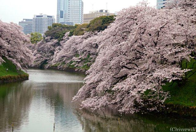東京 千鳥ヶ淵 桜 Tokyo Chidorigafuchi Sakura