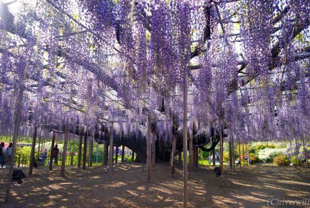 栃木 あしかがフラワーパーク Tochigi Ashikaga Flower Park
