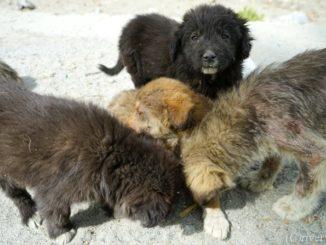 パキスタン Pakistan Phander Puppy