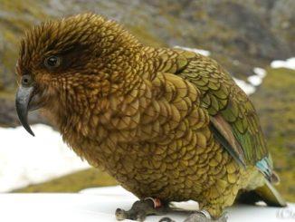 ニュージーランド キア オウム New Zealand Quia Parrot